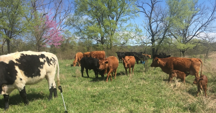 2019-4-12 Princess Calves and Redbud