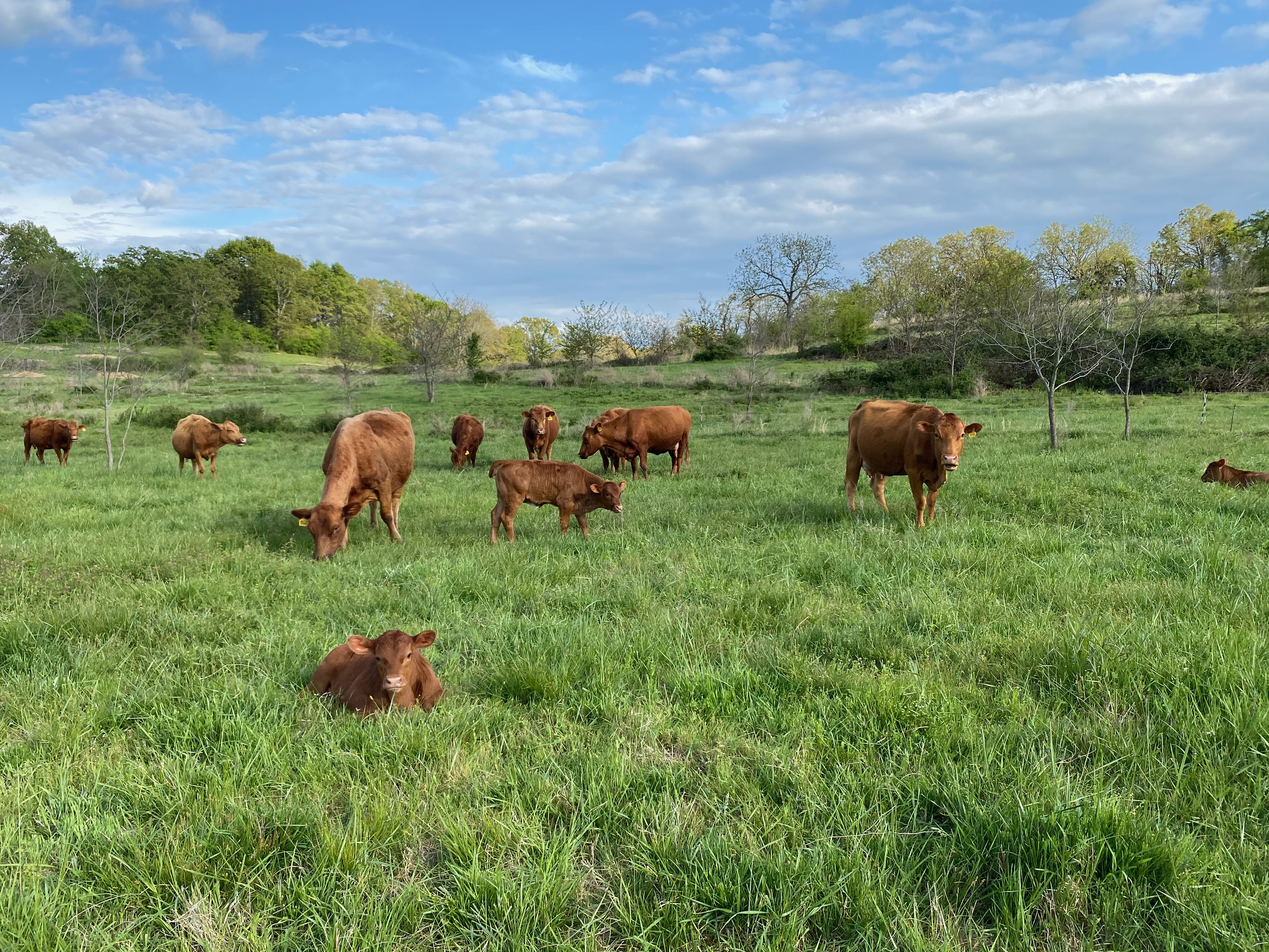 Calves and herd on spring grass